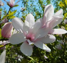 Febbraio - Magnolia Soulangeana
