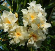 Agosto - Nerium Oleander